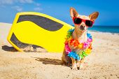 foto of hawaiian flower  - chihuahua dog at the beach with a surfboard wearing sunglasses and flower chain on summer vacation holidays at the beach - JPG