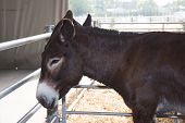 picture of donkey  - Nice and big Grey donkey in a field - JPG