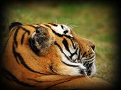 pic of tigress  - tiger portrait with vignette image taken at the zoo - JPG