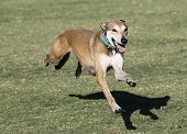 stock photo of lurch  - A whippet, four feet off the ground while lurching forward on a run