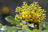 stock photo of aquifolium  - Oregon Grape flowers in Western Washington in the Spring - JPG