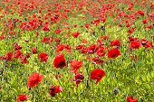 stock photo of poppy flower  - Common poppy flowers Papaver rhoeas in a cultivated field