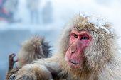 foto of macaque  - Japanese Snow monkey Macaque in hot spring Onsen Jigokudan Park - JPG