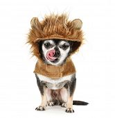 foto of licking  - a tiny chihuahua in a lion costume licking his nose isolated on a white background - JPG