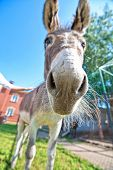 picture of headstrong  - Donkey closeup portrait in sunny day - JPG