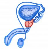 Постер, плакат: Prostate And Male Reproductive System Isolated On White