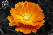 stock photo of raindrops  - closeup of a marigold flower covered with raindrops - JPG