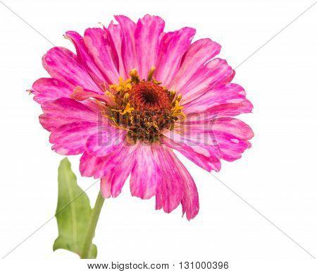 pink  flower zinnia isolated on white background