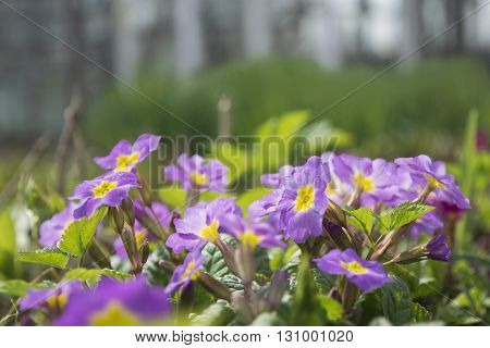 Blossom of spring flowers - Primula juliae, also known as Julias primrose or purple primrose, under warm sunlight. Spring closeup floral landscape, natural floral background.