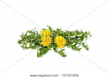 Flowers dandelions with leaves isolated on white background.