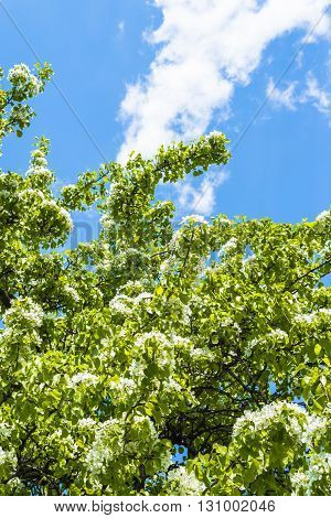 Clear spring sky over the Apple orchard blooming in a Moscow Park Kolomenskoe. Russia.