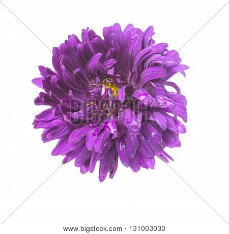 nature purple aster isolated on white background