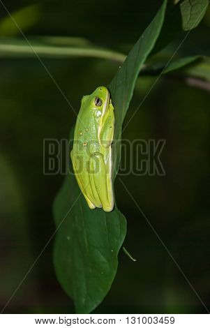 American green tree frog (Hyla cinerea) sitting on a green leaf