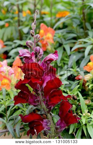 The Snapdragon flower comes in a variety of colors and are native to United States Europe and North Africa.
