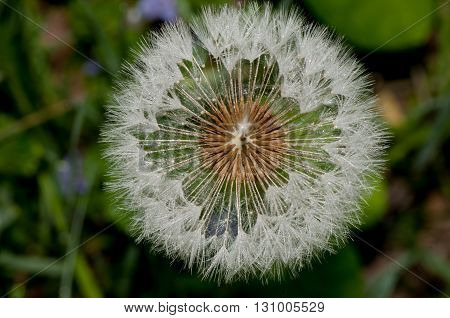 A macro closeup of a Dandelion seeds in the spring.