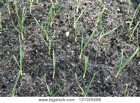 Vegetable bed for plants of growing garlic