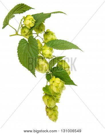 nature, plants hop isolated on white background