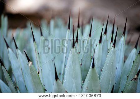 Pita Plant