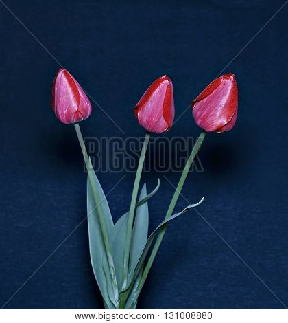 Bouquet of red tulips isolated on black background