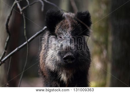 Wild boar close-up located in the bushes of the forest