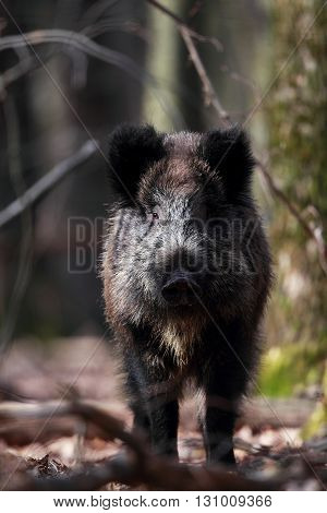 Portrait of a wild boar located in the forest