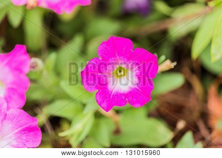 Close up Pink Petunia background colorful flowers