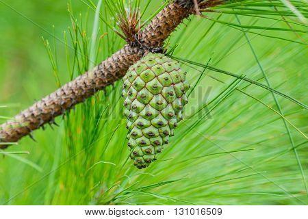 seeds of Khasiya Pine on forest moutaint in Phu Rua National ParkThailand.