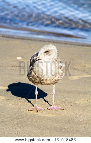 A young seagull stands near the edge of the ocean, soaking up the sunshine while resting.