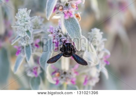 Black bee eating pollen in a flower