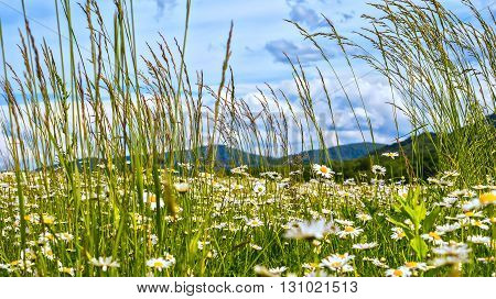 Camomile field in spring near green hills