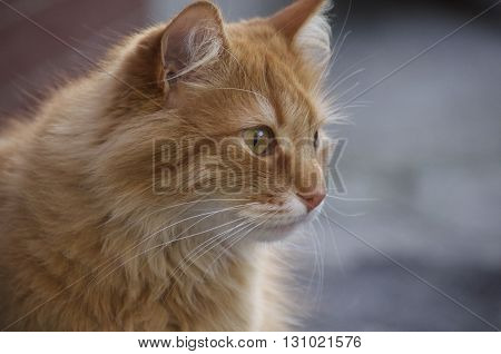 Portrait of a serious red-haired cat looks ahead