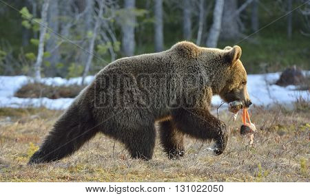 Brown Bear (ursus Arctos) Running With Fish On A Swamp In The Spring Forest.