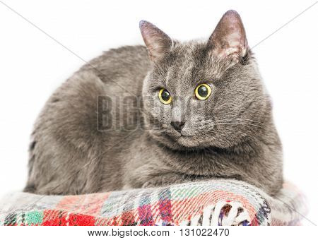 Nice adult gray cat on white background