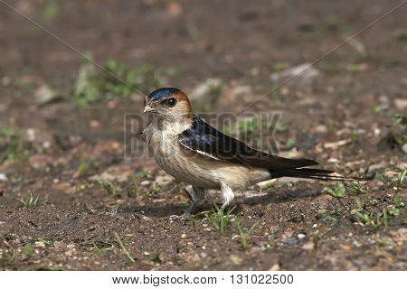 Red-rumped swallow (Cecropis daurica) resting on the ground in its habitat