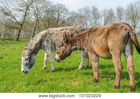 Donkey on green field in Lower Saxony / Germany