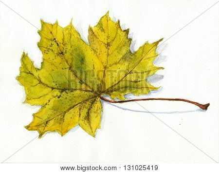 Maple leaf - hand drawn watercolor painting