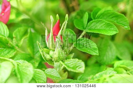 Bud of rose hips on bush at green summer day