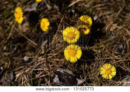 Coltsfoot flower yellow bloom in spring Alps