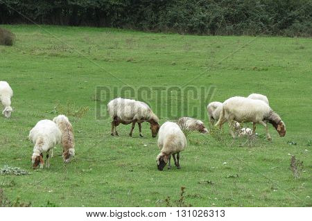 Sheep quadrupedal ruminant mammal animal flock pasturing on the grass