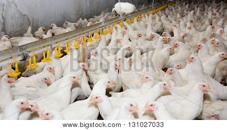 White young chickens at the poultry farm