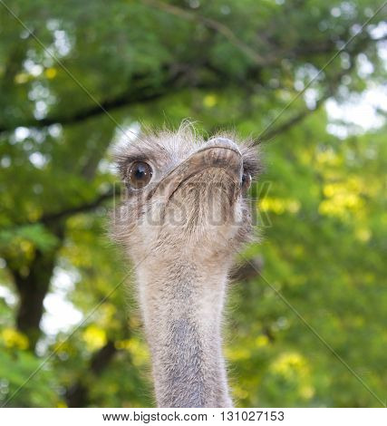 Portrait of an ostrich on a background of green leaves