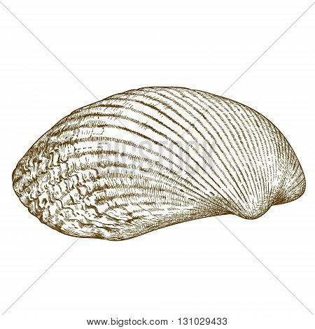 Vector antique engraving illustration of clam shell isolated on white background