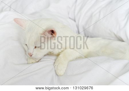 Pure White Cat Sleeping