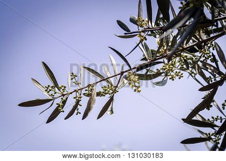 Branch of small olive growing, Jaen, Spain
