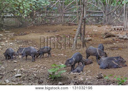 Pecari Herd At Zoo