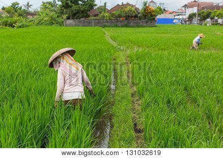 Farmers working in rice field.