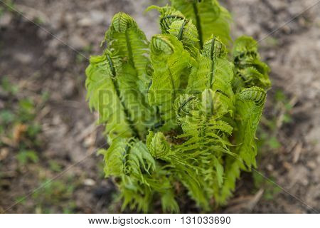 Fresh spiral sprouts of fern in the garden in spring.