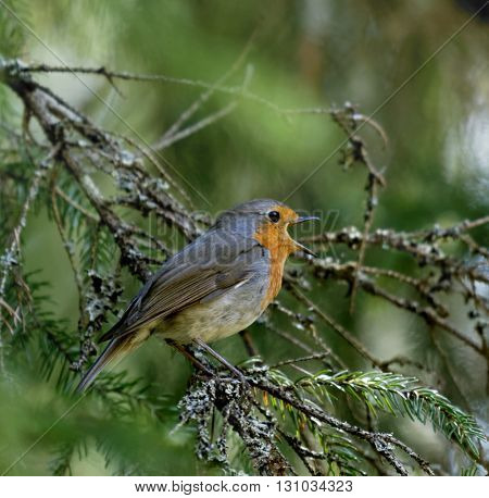 Singing European robin bird on a tree