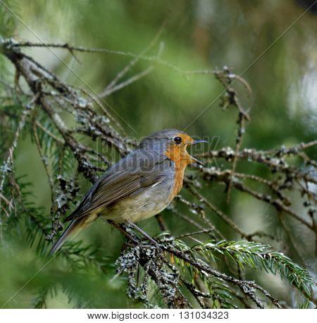 Singing European robin bird on a tree