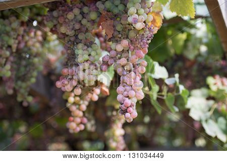 Bunches Of Grapes At A Vineyard #2